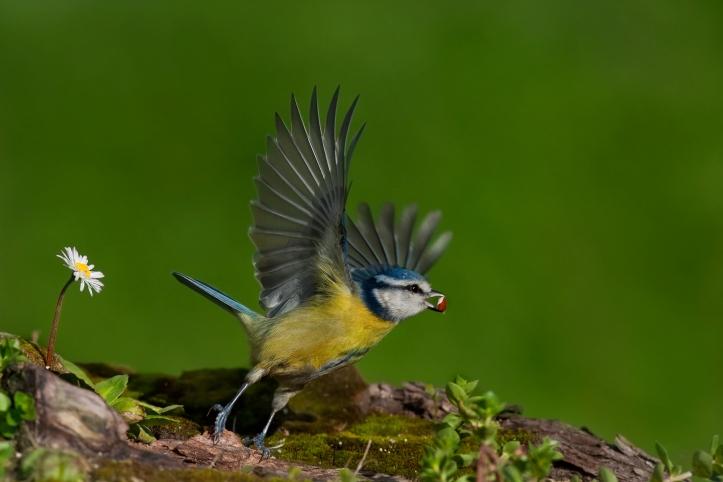 s.serra, cinciarella-volo-1800px