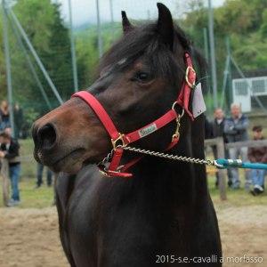 2015-05-03-cavalli a morfasso LR-3456