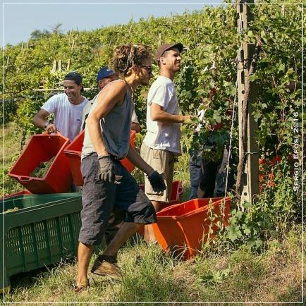 2016-09-23-vendemmia-a-travazzano-6103_fotor
